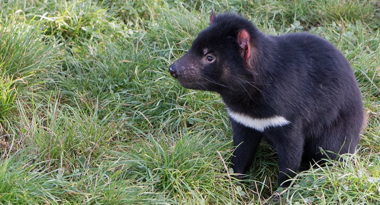 Thomas the Tasmanian devil inspires learning across Australia
